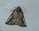 Orange-humped mapleworm moth (Symmerista leucitys), #7953
