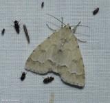 Unmarked dagger moth (Acronicta innotata), #9207