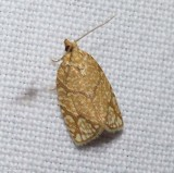 Yellow-winged oak leafroller moth  (Argyrotaenia quercifoliana), #3623