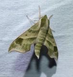 Virginia creeper sphinx moth  (Darapsa myron), #7885