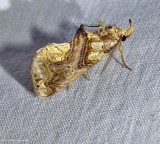 Moonseed moth  (Plusiodonta compressipalpis), #8534