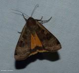 Large yellow underwing moth (Noctua pronuba), #11003.1