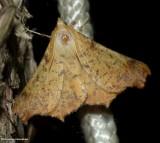 Maple spanworm moth (Ennomos magnaria), #6797