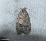 Twirler moth (Bog bibarrambla), #O011