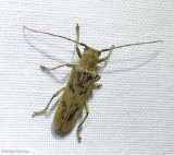 Linden borer long-horned beetle (Saperda vestita)