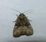 Black-banded brocade moth  (Oligia modica), #9404