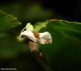 Brown-patched phalonidia moth  (Phalonidia lepidana), #3807