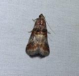 HIckory leafstem borer moth (Acrobasis angusella), #5673