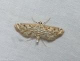 Watermilfoil leafcutter moth (Parapoynx allionealis), #4764