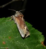 Red-humped caterpillar moth (Schizura concinna), #8010