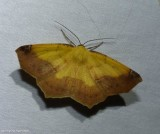 Variable antepione moth, male (Antepione thisoaria), #6987