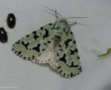 Green marvel moth (Acronicta fallax), #9281