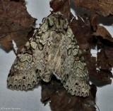 Stormy arches moth (Polia nimbosa), #10275