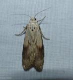 Bee moth (Aphomia sociella), #5629