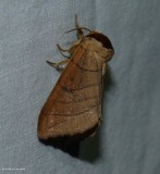 Angus's datana moth  (Datana angusii),  #7903