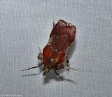 Boxwood leaftier moth  (Galasa nigrinodis), #5552
