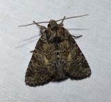 Disparaged arches moth (Orthodes detracta), #10288