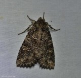 Cloudy arches moth (Polia imbrifera), #10276