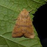 Bicolored sallow moth (Sunira bicolorago),  #9957
