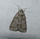 Gray dagger moth (Acronicta grisea), #9212