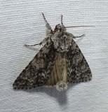 Impressed dagger moth (Acronicta impressa), #9261