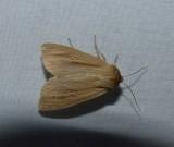 Lesser wainscot moth  (Mythimna oxygala), #10436