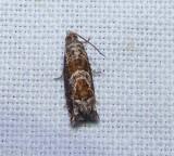 Canadian sonia moth (Sonia canadana), #3219