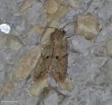 Dimorphic pinion moth (Lithophane patefacta), #9886