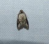 Currant fruitworm moth (Carposina fernaldana), #2315