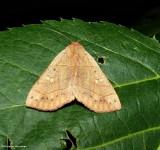 Red-lined panopoda  (Panopoda rufimargo),  #8587