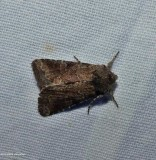 Moth (Orthodes sp.)