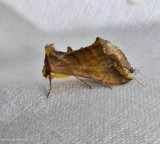 Unspotted looper moth (Allagrapha aerea), #8898