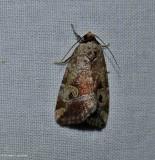 Pale-winged midget moth (Elaphria alapallida), #9681.1