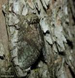 Saddled prominent moth (Heterocampa guttivitta), #7994