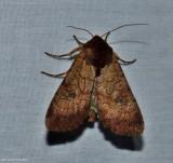 Rosewing moth (Sideridis rosea), #10265