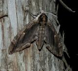 Elm sphinx moth  (Ceratomia amyntor), #7786