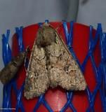 Rustic shoulder-knot moth (Apamea sordens), #9364