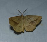 Least-marked euchlaena moth  (Euchlaena irraria), #6739