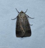 Pale-banded dart moth  (Agnorisma badinodis), #10955