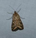 Alfalfa webworm moth  (Loxostege cereralis), #5017