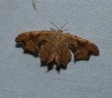 Brown scoopwing moth (Calledapteryx dryopterata), #7653