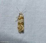 Silver-bordered aethes moth (Aethes argentilimitana), #3754.2