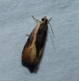 Variable nigranum moth  (Olethreutes nigranum), #2800
