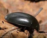 Water scavenger beetle  (Hydrochara)