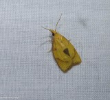 Tortricid moth (Cenopis mesopila), #3721