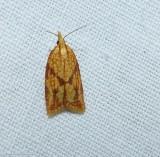 Sparganothis fruitworm moth (Sparganothis sulfureana), #3695