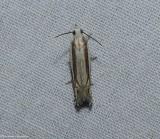 Striated eucosma moth  (Eucosma striatana),   #2973