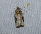 Gray-banded leafroller  (Argyrotaenia mariana), #3625