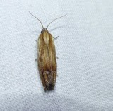 Tortricid moth (Eucosma radiatana), #2908