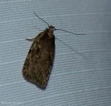 Twirler moth (Agonopterix pulvipennella), #0867